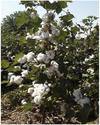 927 Hybrid Cotton Seed