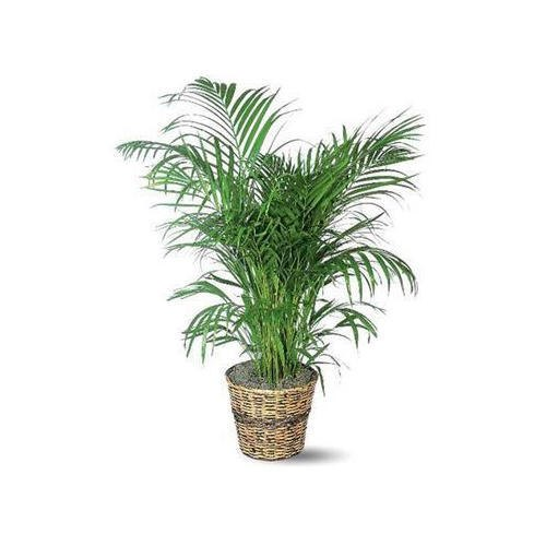 Well Watered Green Indoor Decorative Plant For Home Decoration Rs 500 Plant Id 21993901612