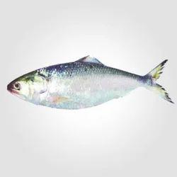 Hilsa Fish Home Delivery Service