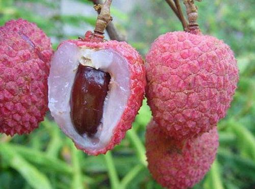 Lychee Fruit Tree Images