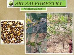 Acacia Holosericea Seeds