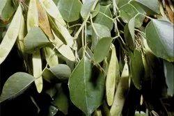 Shisham Leaves - Indian Rosewood