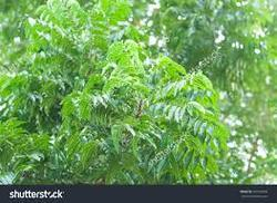 Certified Neem Leaf Powder (Azadirachta Indica)