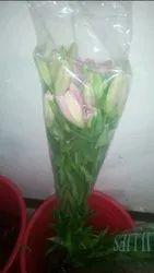 Oriantal Lily