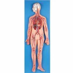 PVC Human Circulatory System Model