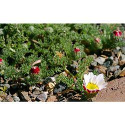 Akarkara Flower - Anacyclus pyrethrum Flower