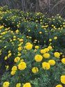 Indra Yellow Marigold Flower