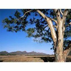 Eucalyptus Camaldulensis Tree