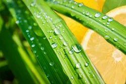 Lemon Grass Fragrance