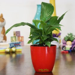 Peace Lily Red Plastic Pot