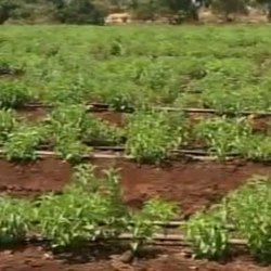 Plantation Service in Pune, Satara by Green World Agro-Tech