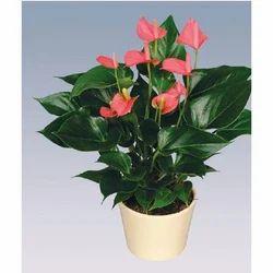 Pink Champion Anthurium Pot Plant