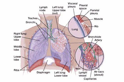 apex of lung teriz yasamayolver com Midbrain Diagram