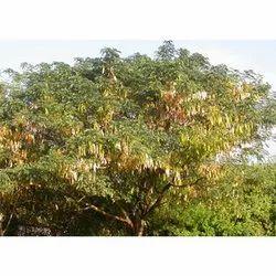 Albizia Lebbeck Tree