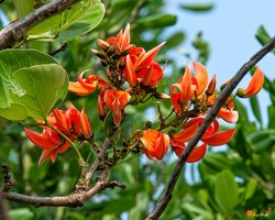 Butea Monosperma Plants