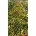 Bokambaliya Flowering Plant, For For Outdoor And Garden