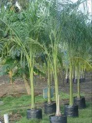 Royal Palm Tree