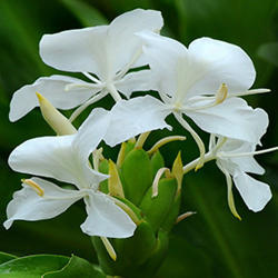 White Ginger Lilly Absolute Oil
