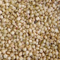 pramoda Sorghum Grass Seeds, Packaging Type: Pp Bags, Packaging Size: 50 Kgs