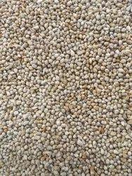 Pearl Millet Bajra