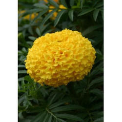 Marigold Flower Seeds MG- 61