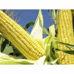 Fresh Maize Seed