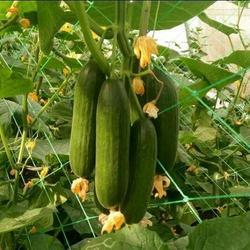 Cucumber Crop Support Net