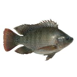 Fresh Monosex Fish Seed, Normal, Packaging Size: Oxygen Packing