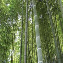 Timber Bamboo Plant