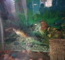 Gold Colour Koyacers Fish, Size: 3