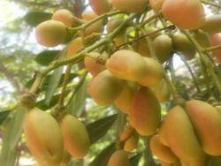 SRIPHL Biodiesel Crop Simarouba 25 Seeds, Pack Size: Small
