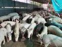 Gilt Female Pig Farm