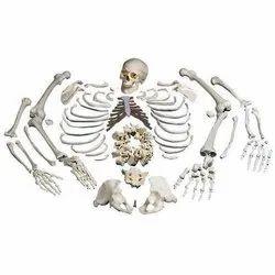 Disarticulated Life Size Skeleton Models