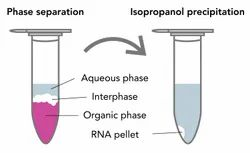 Total Rna Isolation From Yeast By Trizol Method