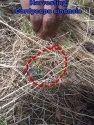 Harvesting Caterpillar Fungus