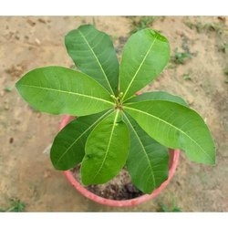 Sarpagandha cultivation Plant