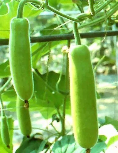 Bottle Gourd, Packaging Size: 10 kg