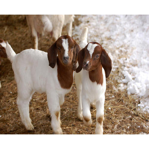 Kid Boer Goat