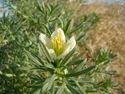 Horticultural Green Peganum Harmala, For Herbal, Packet