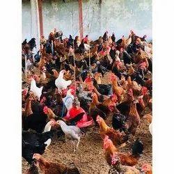 Telangana Aseel Country Chicken