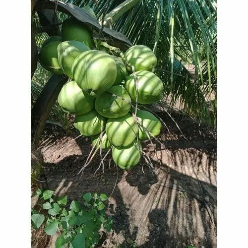 A Grade 20 piece Green Tender Coconut, Packaging Size: Loose