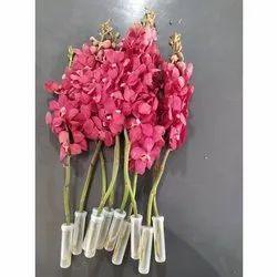 Mokara Red Orchids