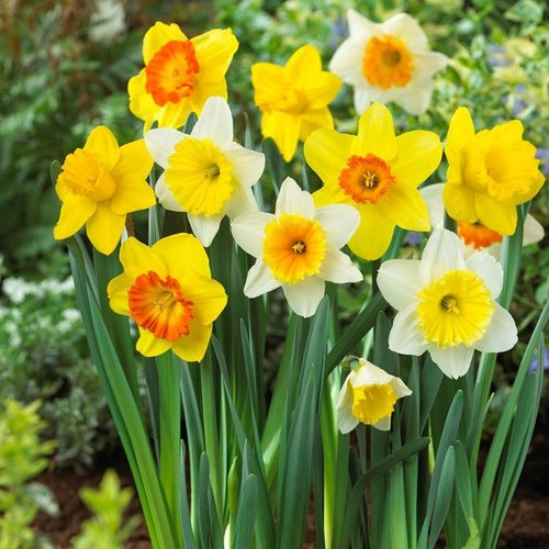 Narcissus Flower Bulbs At Rs 1000