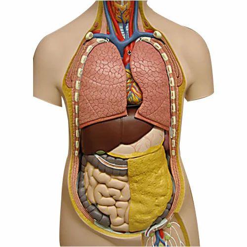 Biology Human Torso Model at Rs 1210 /piece | Human Body Parts Model ...