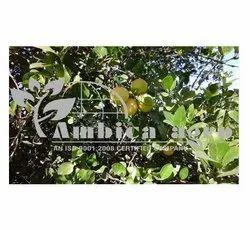 Kagdi Lemon Tissue Culture Plants