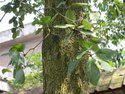 Terminalia Bellirica Plants