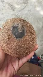 Ekakshi Nariyal One Eye Coconut