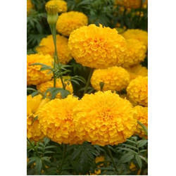Marigold Flower Seeds