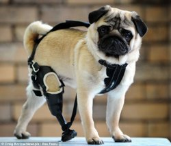 Top Lap Dog Prosthetics
