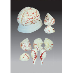 Brain with Arteries